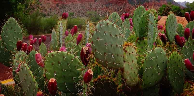 Kaktusfigen olie