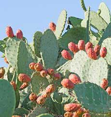 kaktusfigenolie
